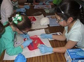 Students do sheep brain dissections at an elementary school, organized by Indiana University of Pennsylvania